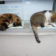 江ノ島の猫④